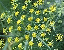 bilje-morac
