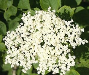 cvetovi-zova
