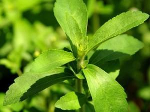 stevija-biljka-list